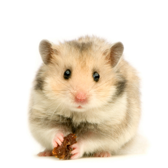 Real Hamsters Making a Comeback, But Beware